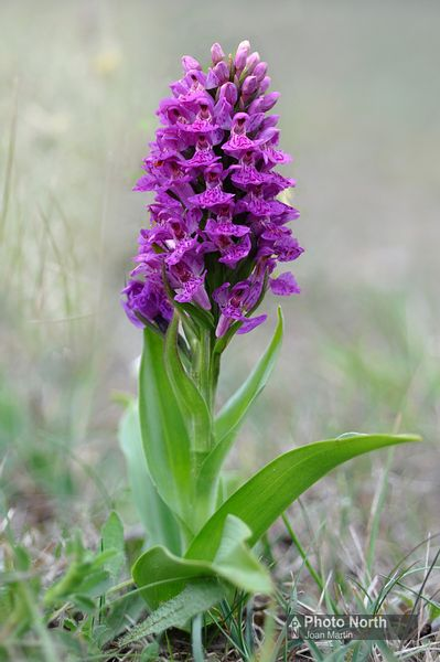 ORCHID 41A - Northern marsh orchid