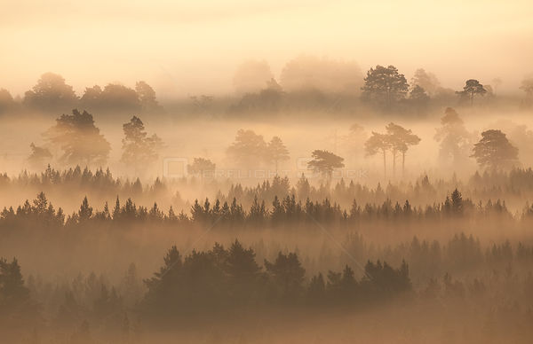 Native pine forest silhouetted in dawn mist. Scotland, UK, 2009.