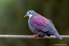 White-breasted Ground Dove