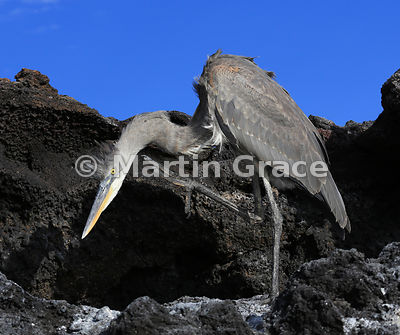 Great Blue Heron (Ardea herodias) scratching its neck, Sombrero Chino, Galapagos Islands