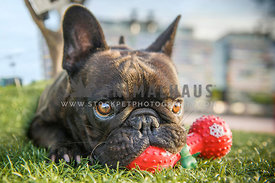 French Bulldog Chewing on Toy