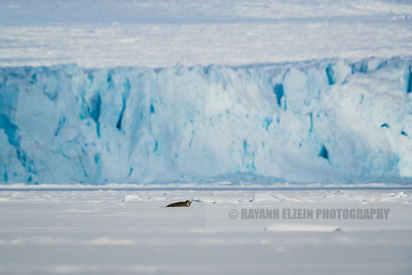 Ringed seal with glacier front as background