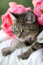 Cute-Adult-Tabby-Cat-with-Pink-Peony-Spring-Flowers-Kneading