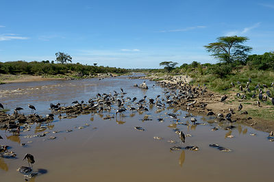 Marabou storks (Leptoptilos crumeniferus) scavenging Wildebeest carcasses in the river, after the migration, Samburu, Kenya, ...