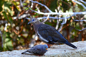 West Peruvian dove ( Zenaida meloda, large ); Croaking ground dove ( Columbina cruziana, small )