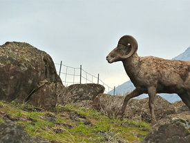 mountain sheep full saturation