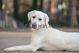 white labrador retrieving lying down looking at camera with head tilt