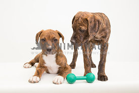 Two brindle pit bull puppies in studio with white background