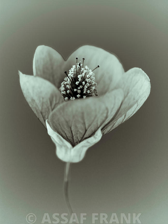 Close-up of abutilon nabob (Sepia)