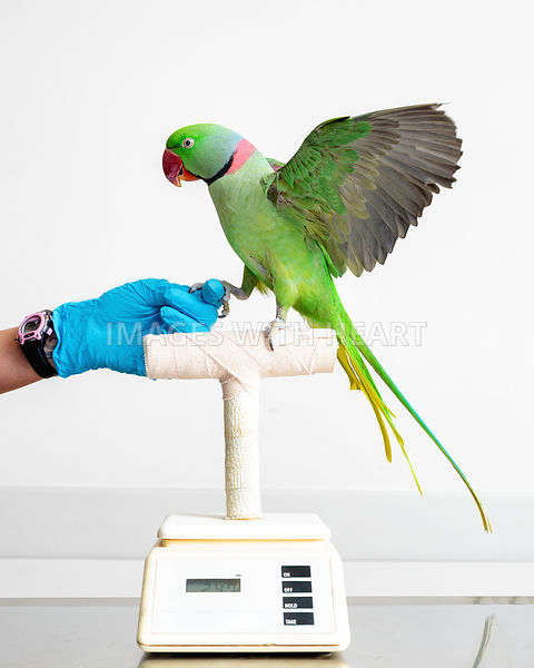 Parrot Bird on Scale at Veterinary Office