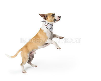 Playful Excited Mixed Small Breed Dog Jumping Up