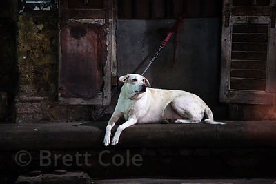 A white lab dog chained to a stoop in Bowbazar, Kolkata, India.