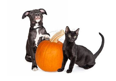 Black Puppy and Kitten With Pumpkin