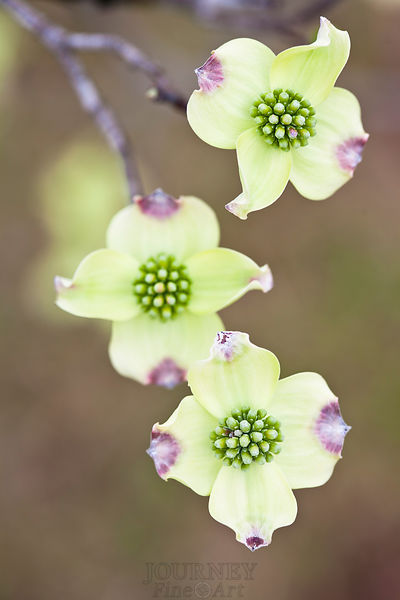 Three Dogwood Blossoms