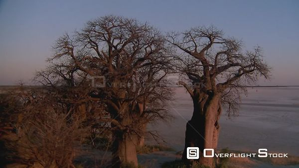 Aerial wide angle shot group of baobab trees on edge of salt pan in desert with sun reflecting on tree trunk at sunset sunris...