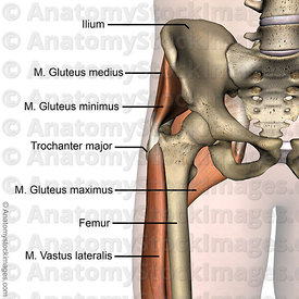 hip-gluteus-maximus-medius-minimus-trochanter-major-vastus-lateralis-femur-ilium-front-skin-names
