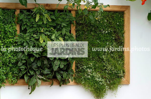 garden designer, Mini potager, Mini Vegetable garden, pearlwort, Foliage wall, Green wall, Vegetation wall, Wall decoration