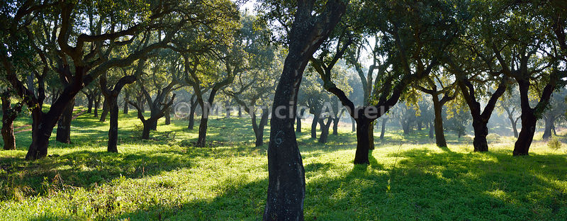 Cork trees in a foggy day. Arrábida Natural Park. Portugal