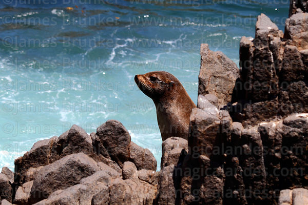 Female South American fur seal (Arctocephalus australis)