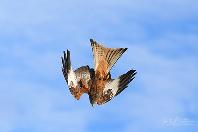 RED KITES DIVING