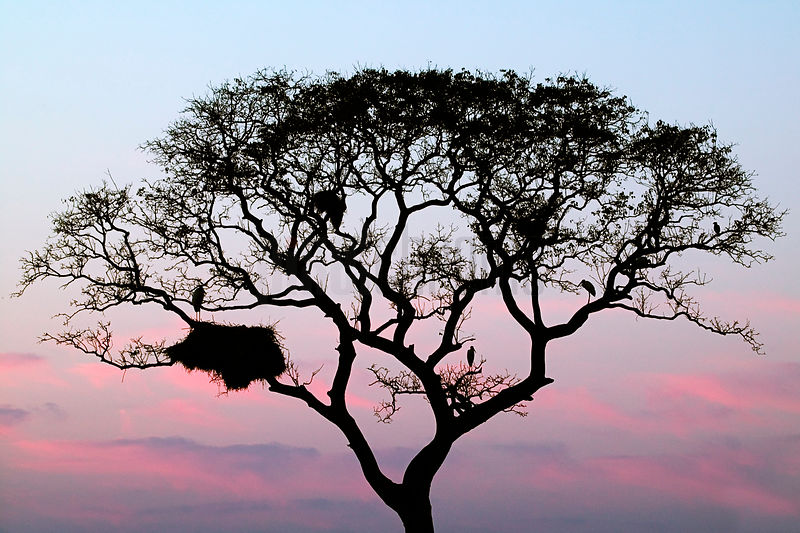 Jabiru Stork nest silhouetted at dawn, Transpantaneira Highway, Pantanal, Mato Grosso, Brazil