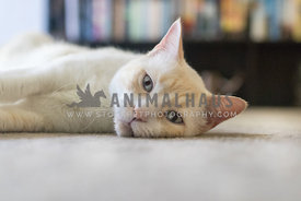 white cat lying in front of bookcase