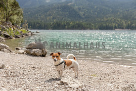 A jack russell mix by an alpine lake
