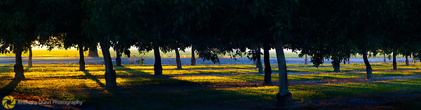 Setting sun through the Walnut Trees #1