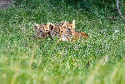 Three Cute Lion Cubs in Africa Grasslands
