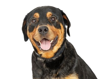 Closeup Friendly and Happy Rottweiler Dog