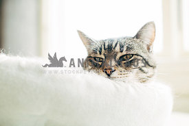 tabby cat with head sticking out of white cat bed