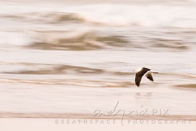 Motion blur - one seagull flying along beach at sunrise, waves behind