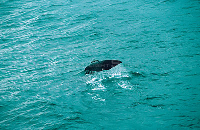 Aerial view of Sperm whale fluking {Physeter macrocephalus} Sea of Cortez, Mexico