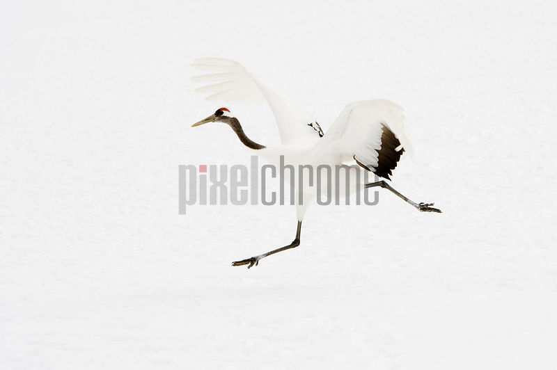 Red Crowned Crane in Taking off Tsurui Hokkaido Japan