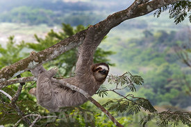 Brown-throated Sloth  (Bradypus variegatus) of Three-toed Sloth family, female Panama