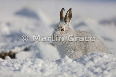 Mountain Hare (Arctic Hare) (Lepus timidus) sitting in the form it has dug for itself in snow, February 13, Strathdearn, Scot...