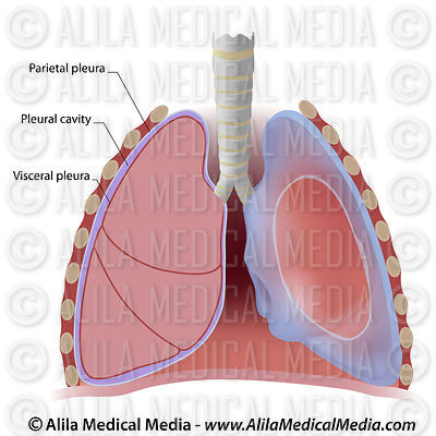 Lung pleura and pleural cavity