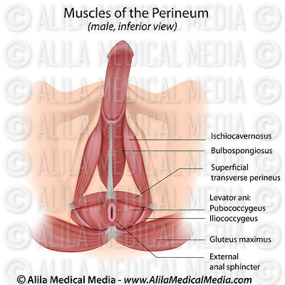 Muscles of the perineum in male labeled.