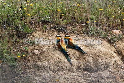 European Bee-Eater (Merops apiaster), Steppes of Belén, Extremadura, Spain