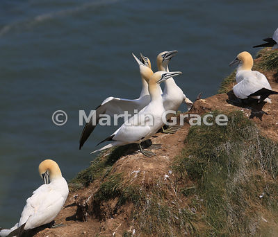 Northern Gannets (Morus bassanus) displaying in the nesting colony, Bempton Cliffs (RSPB), East Riding of Yorkshire, England