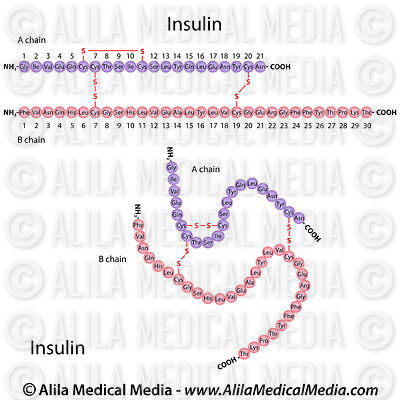 Insulin molecule