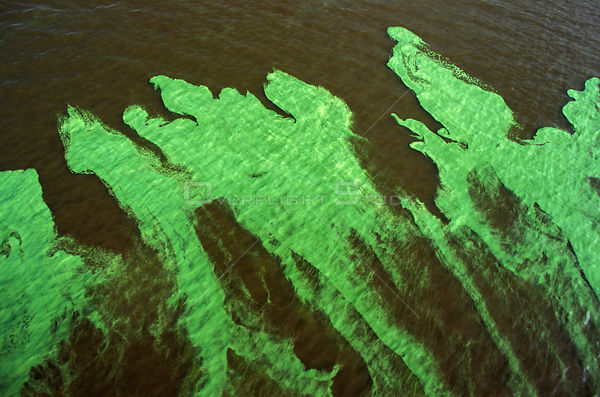 Algal bloom on surface of Rio Tabajos, near Santarem, Para, Brazil. 1994.
