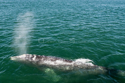 Aerial view of Grey whale (Eschrichtius robustus) blowing, San Ignacio Lagoon, Baja California, Mexico
