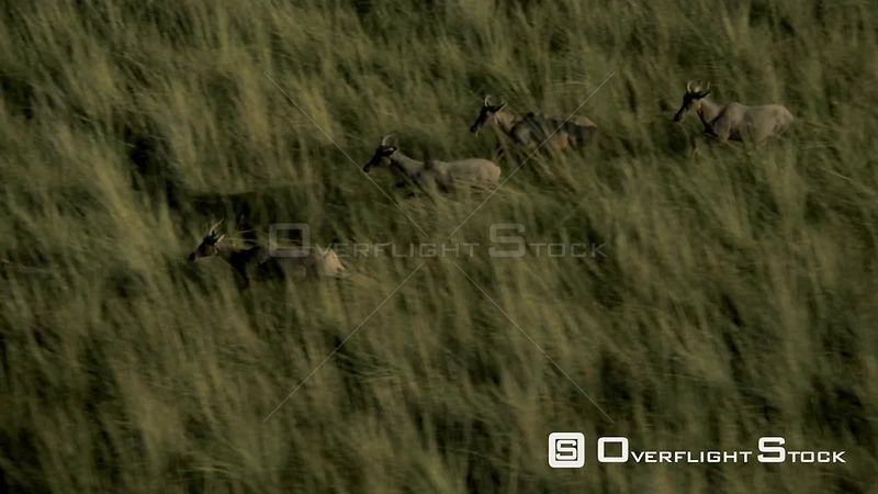 Slow motion aerial antelopes running through tall grass at sunset sunrise Zimbabwe