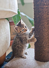 tabby kitten on scratching post