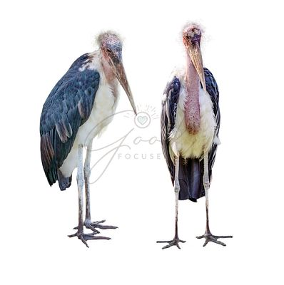 Marabou Stork in Two Positions Isolated on White