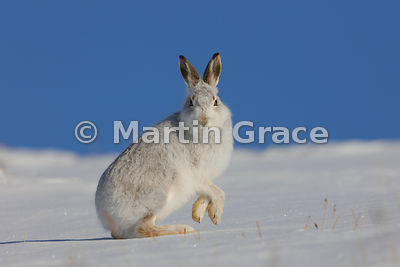 Mountain Hare (Arctic Hare) (Lepus timidus) in snow, with both front feet in the air, February 13, Strathdearn, Scottish High...