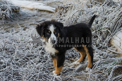A Swiss Mountain puppy stands on the frosty ground