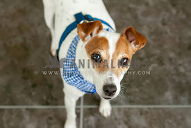 Jack Russell terrier close up indoors in natural light