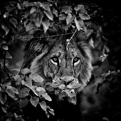 1959-Lion_in_the_leaves_2_Kenya_2006_Laurent_Baheux